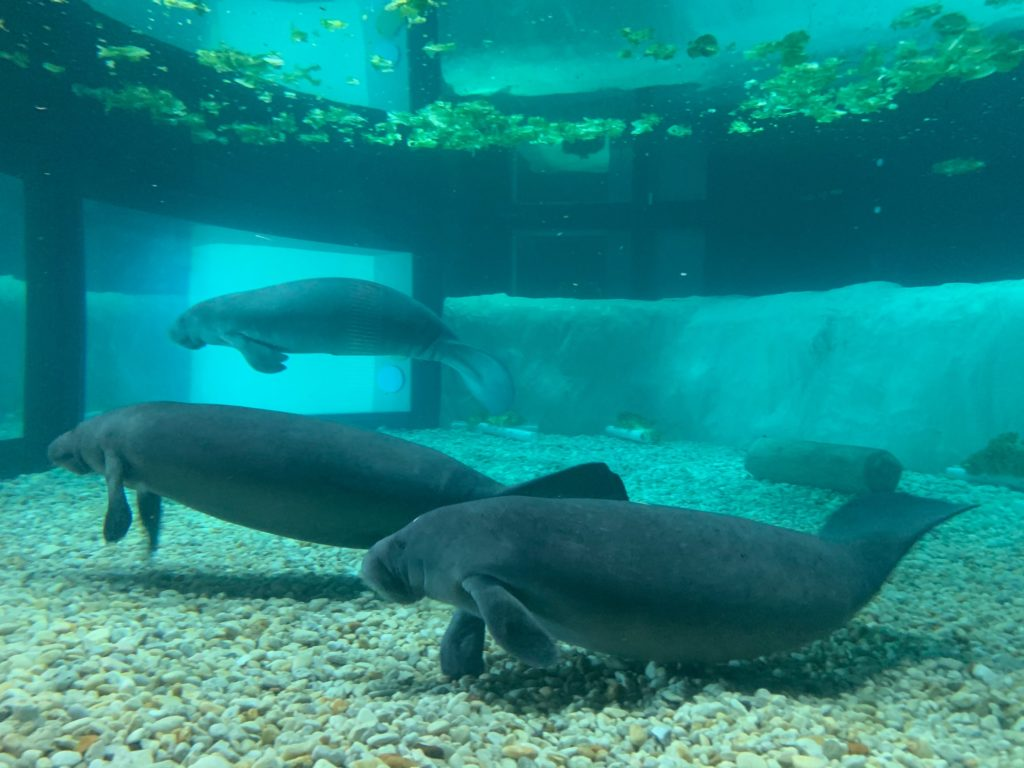 Manatees at The Bishop Museum of Science and Nature